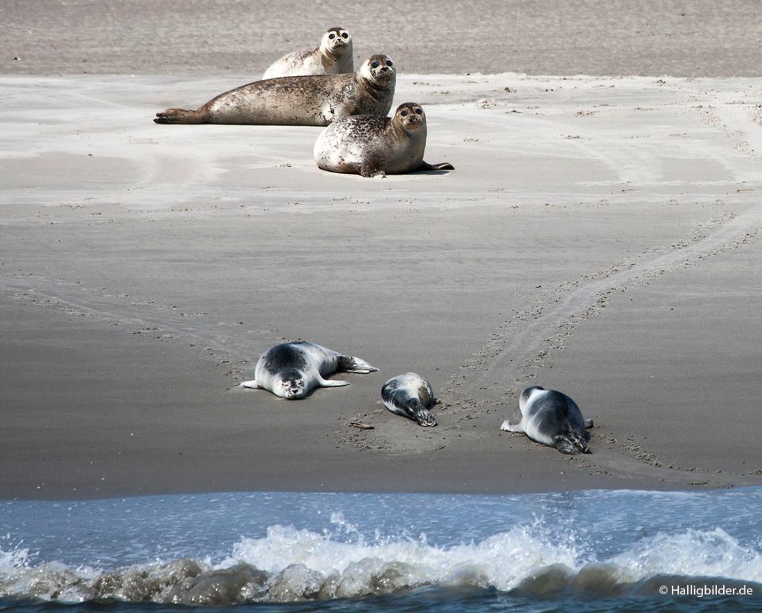 | Nordsee | zw. Hooge u. Langeneß | . . . Seehundsbank vor Langeneß