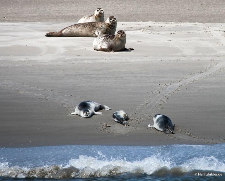   Nordsee   zw. Hooge u. Langeneß   . . . Seehundsbank vor Langeneß