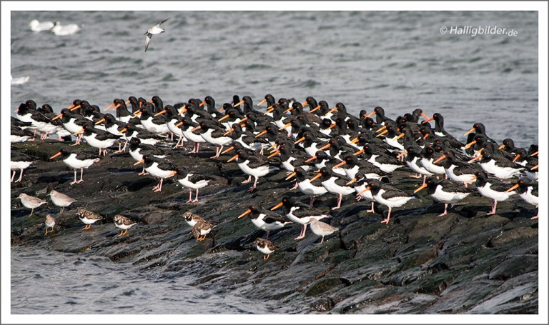 | Halligen | Langeneß | . . . Austernfischer, Schnaber immer gegen den Wind