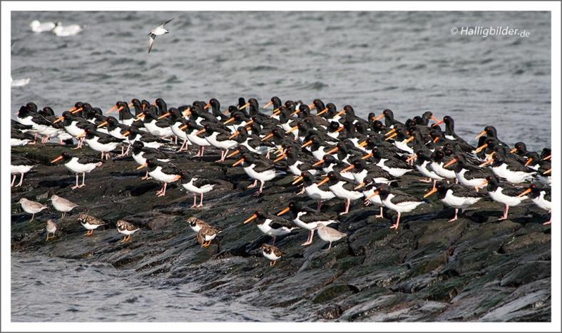   Halligen   Langeneß   . . . Austernfischer, Schnaber immer gegen den Wind