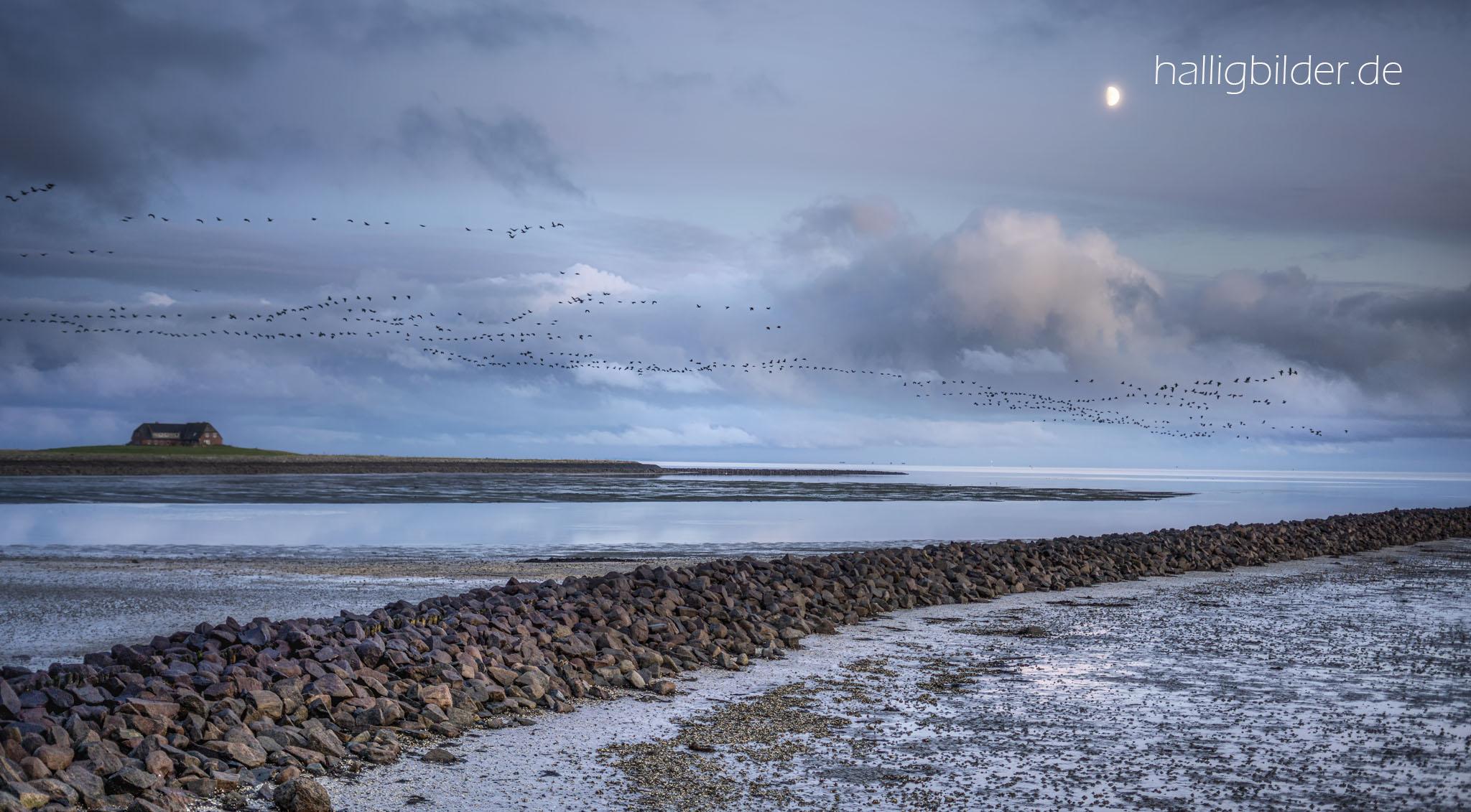 Blick übers Wattenmeer im Mondschein: ein Schwarm Nonnengänse über der Tamenswarf